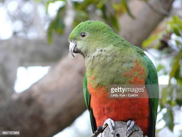 Close-Up Of King Parrot Looking Away