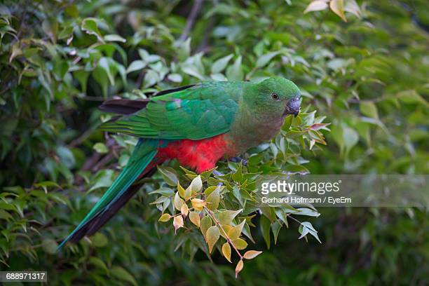 Close-Up Of King Parrot Perching On Twig
