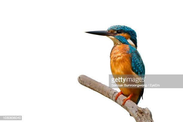 close-up of kingfisher perching on branch against clear sky - perching stock photos and pictures