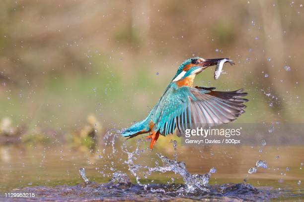 close-up of kingfisher - kingfisher stock pictures, royalty-free photos & images