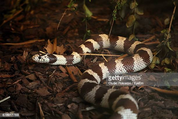 close-up of kingsnake on field - kingsnake stock photos and pictures