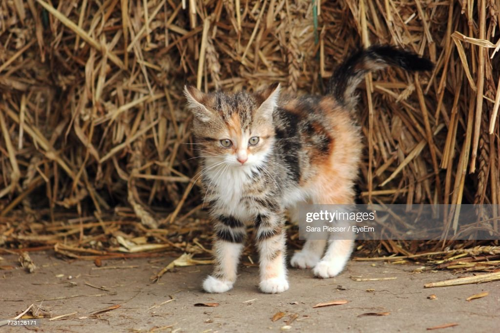 Close-Up Of Kitten Against Hay : Photo