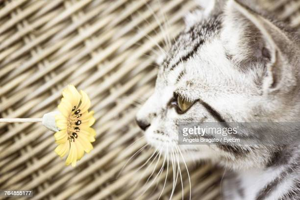 Close-Up Of Kitten Looking At Yellow Flower