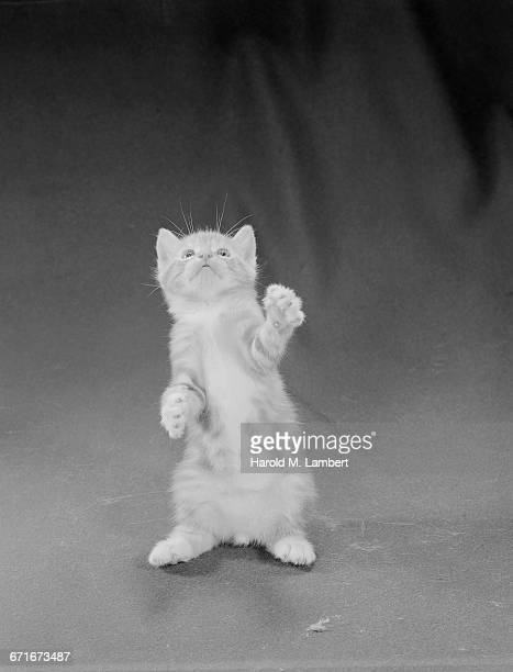 close-up of kitten looking up - mamífero con garras fotografías e imágenes de stock