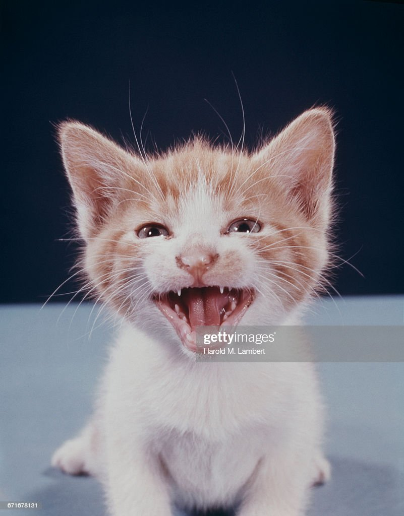 Close-Up Of Kitten With Mouth Open  : Stock Photo