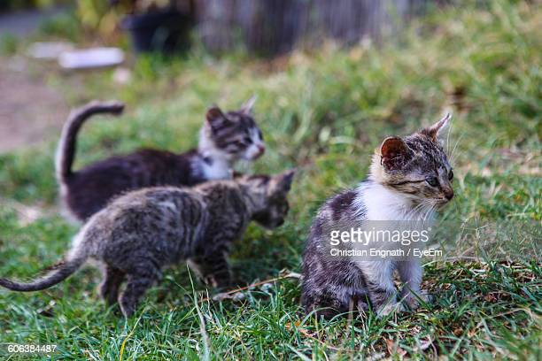 Close-Up Of Kittens On Grassy Field