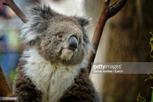 close-up of koala holding branch - melbourne zoo stock pictures, royalty-free photos & images