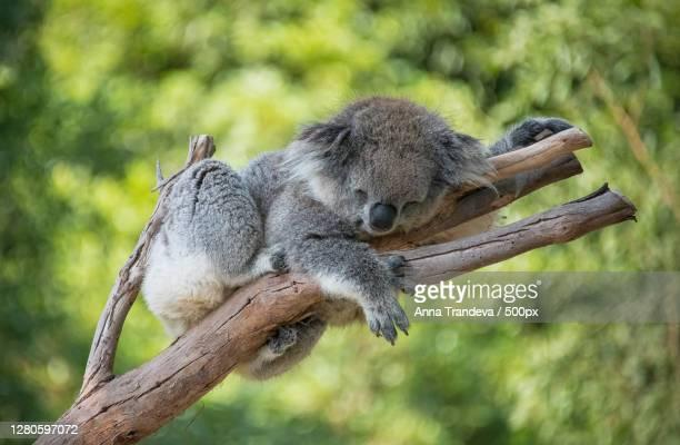 close-up of koala on tree - koala stock pictures, royalty-free photos & images
