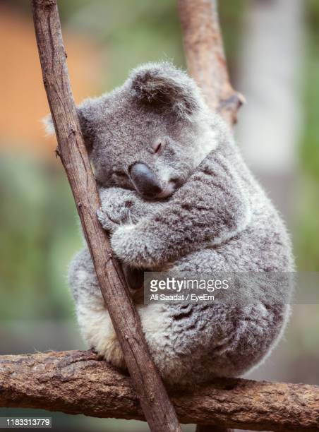 close-up of koala perching on tree - perching stock pictures, royalty-free photos & images