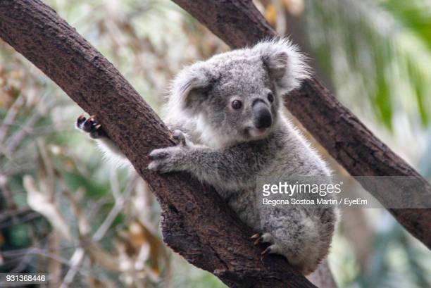 close-up of koala sitting on branch - koala stock photos and pictures