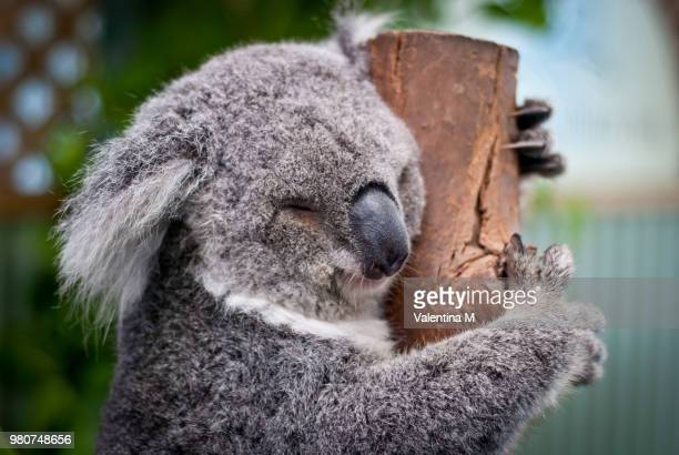 close-up of koala sleeping on tree, australia - koala stock photos and pictures