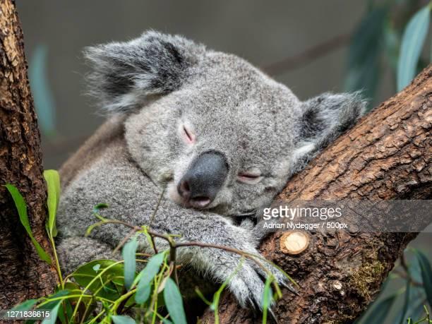 close-up of koala sleeping on tree trunk, zrich kreis 7  fluntern, switzerland - animal stock pictures, royalty-free photos & images