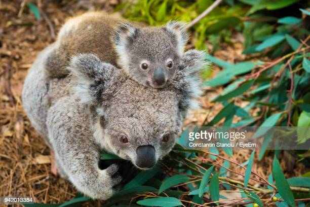 close-up of koalas by plants on field - marsupial imagens e fotografias de stock
