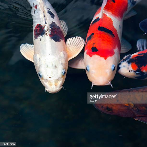 Close-up of Koi carp, differtent colors, swimming in a pond