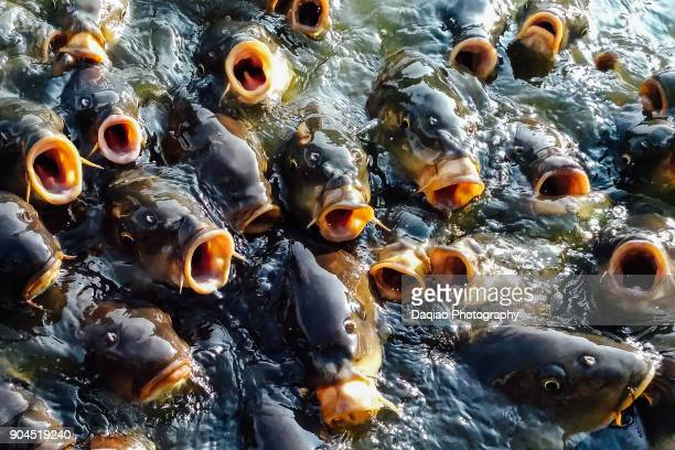 Close-up of Koi Carp fish  contending for feed