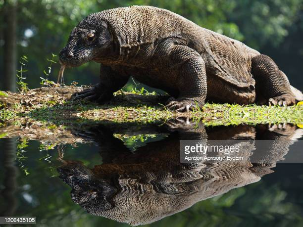 close-up of komodo in water - komodo dragon stock pictures, royalty-free photos & images
