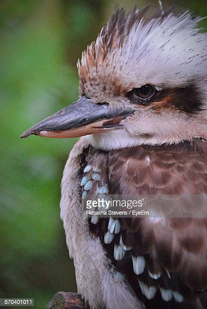Close-Up Of Kookaburra On Tree