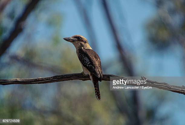 Close-Up Of Kookaburra Perching On Twig