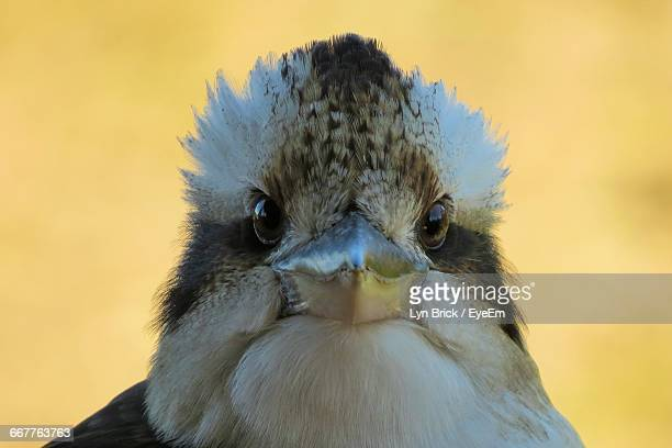 Close-Up Of Kookaburra