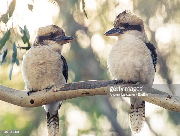 Close-Up Of Kookaburras Perching On Tree Branch
