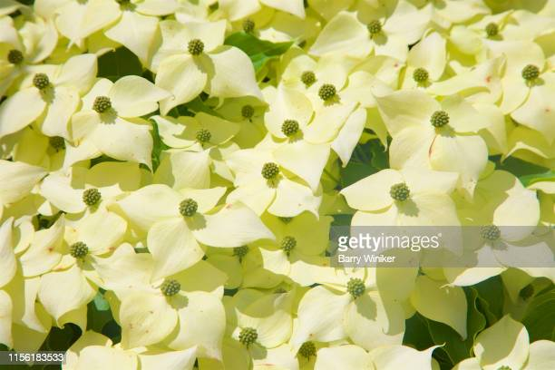 close-up of kousa dogwood in bloom in june in new england - kousa dogwood stock pictures, royalty-free photos & images