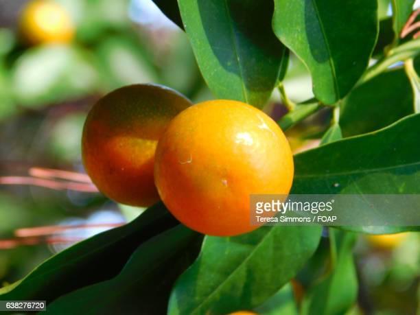 Close-up of kumquat fruit