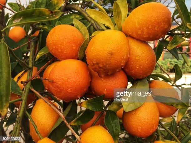 Close-up of kumquat fruits on the tree