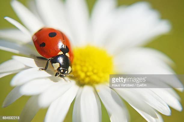 close-up of ladybug on daisy - ladybird stock pictures, royalty-free photos & images