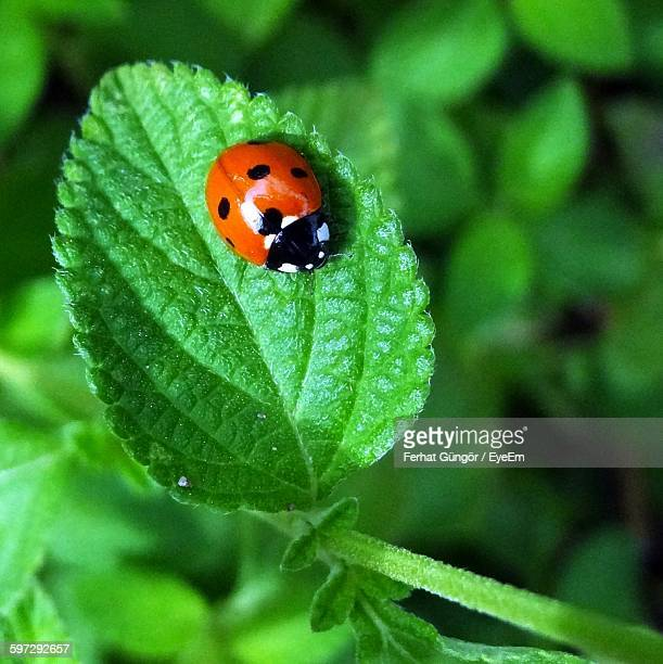 close-up of ladybug on leaf - ladybird stock pictures, royalty-free photos & images