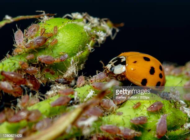 close-up of ladybug on wet plant,new zealand - aphid stock pictures, royalty-free photos & images