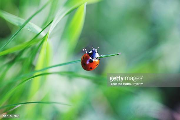 close-up of ladybug perched on grass - ladybug stock pictures, royalty-free photos & images