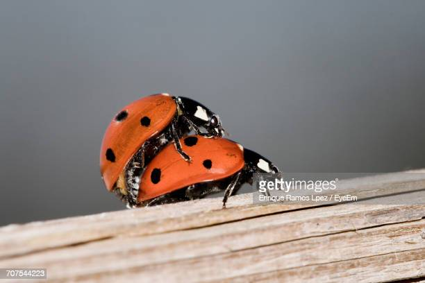 close-up of ladybugs mating on wood - accouplement animal photos et images de collection