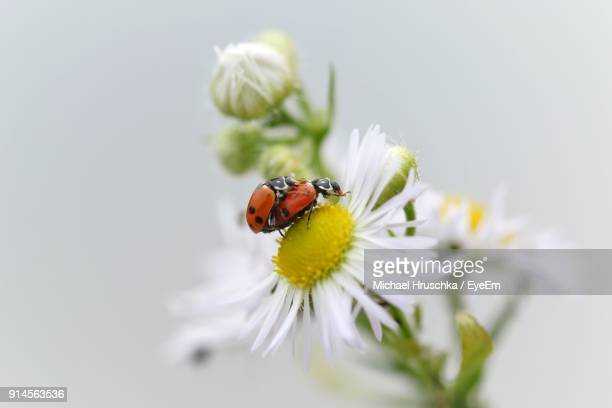 close-up of ladybugs pollinating on flower - michael hruschka stock pictures, royalty-free photos & images
