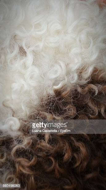 Close-Up Of Lagotto Romagnolo