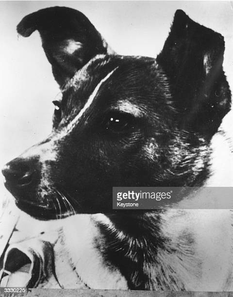A closeup of Laika the dog used to relay biomedical information in the Soviet 'Sputnik II' outerspace investigation programme