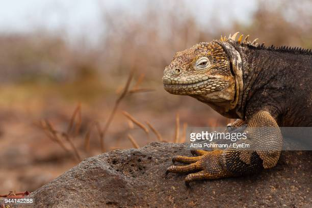 close-up of land iguana on rock - land iguana stock photos and pictures