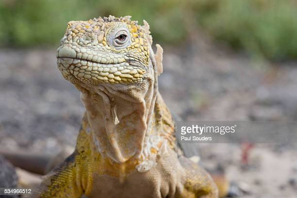 close-up of land iguana - land iguana stock photos and pictures