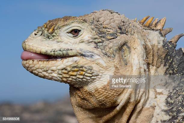 close-up of land iguana sticking out tongue - land iguana stock photos and pictures