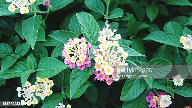 Close-Up Of Lantana Flowers Growing On Plant