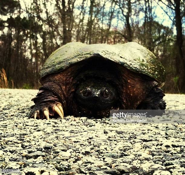 Close-Up Of Large Turtle Walking Slowly In Forest