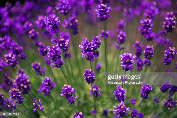 Close-up of Lavender background in Japan