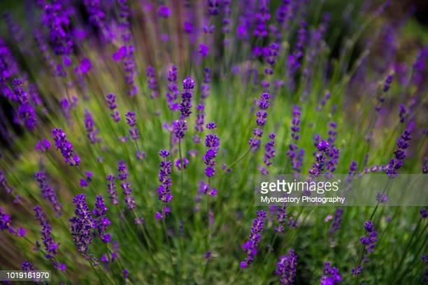 Close-up of Lavender blossom