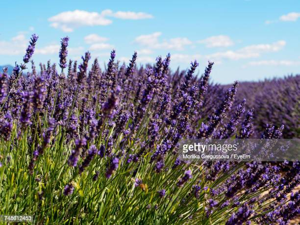 close-up of lavender flowers blooming on field against sky - monika gregussova stock pictures, royalty-free photos & images
