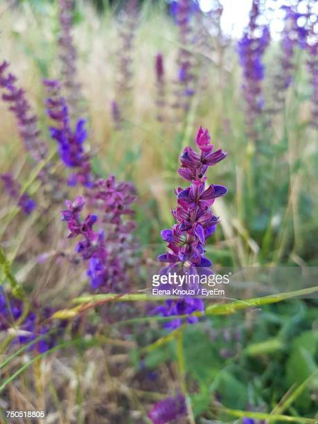 close-up of lavender flowers - elena knouzi stock pictures, royalty-free photos & images