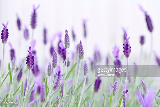 close-up of lavender - lavender color foto e immagini stock