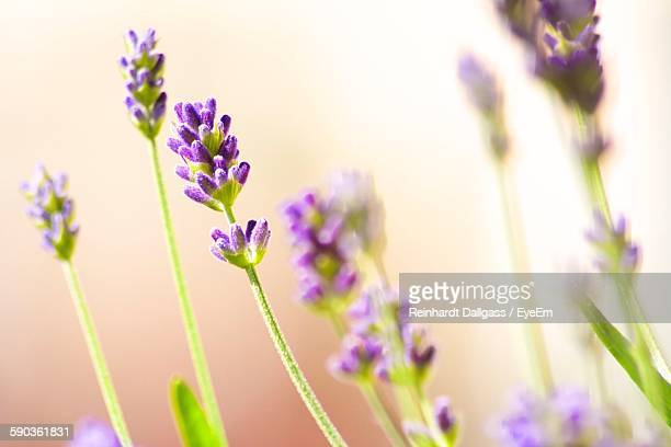 Close-Up Of Lavenders