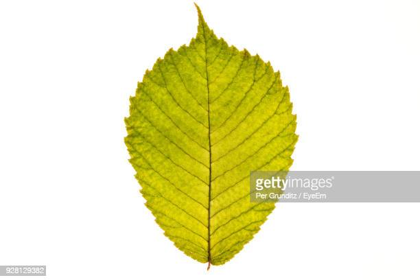 close-up of leaf against white background - per grunditz stock pictures, royalty-free photos & images