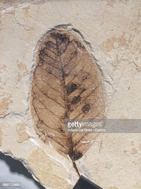 Close-Up Of Leaf Fossil On Rock