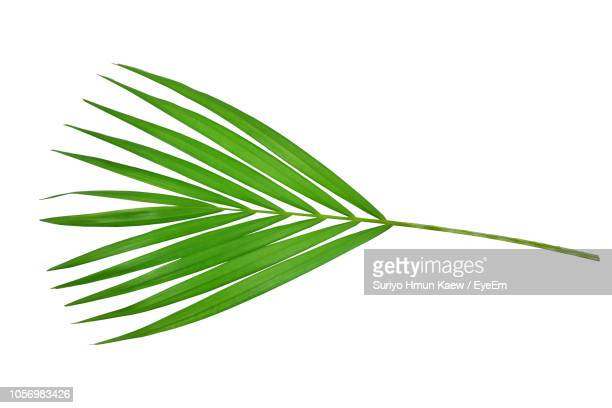 close-up of leaf on white background - palm leaf stock pictures, royalty-free photos & images