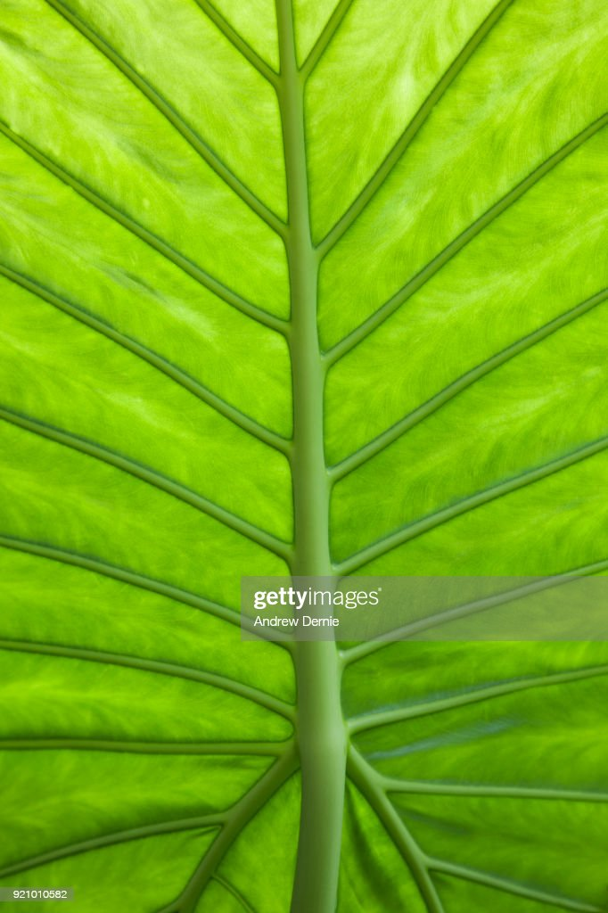 Close-up of leaf structure : Stock Photo